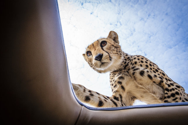 The cheetah on top of the safari vehicle. (Photo by Bobby-Jo Clow/Caters News)