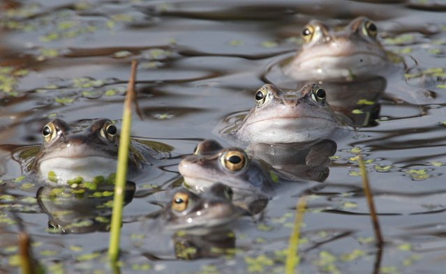 Moor frogs sit in a pond in Leipzig, eastern Germany. Due to drainage of moors and wetlands, the habitat of the species is getting smaller, on April 1, 2014. (Photo by Sebastian Willnow/AFP Photo)