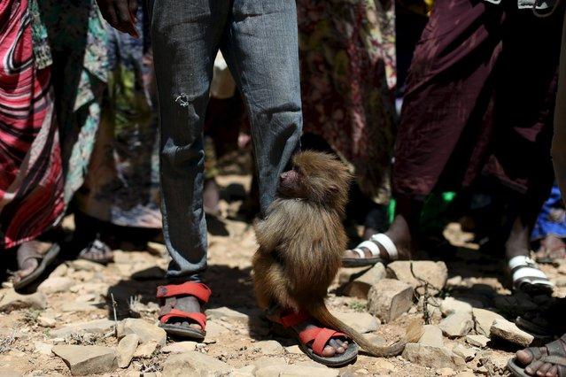 A baboon clings to the leg of an internally displaced boy at a camp on the outskirts of the town of Qol Ujeed, on the border with Ethiopia, Somaliland April 17, 2016. (Photo by Siegfried Modola/Reuters)