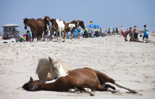 Wild horses relax on a beach near sunbathers on Assateague Island, Maryland on June 30, 2015.The horses on the island are decedents of domestic animals, that have reverted to a wild state most likely because they were first brought to the barrier island in the late 17th century by mainland owners to avoid fencing laws and taxation of livestock, according to the National Park service. (Photo by Andrew Caballero-Reynolds/AFP Photo)