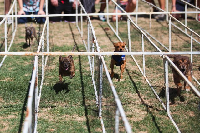 Chihuahuas compete against each other down a stretch of grass to their owners during the Chihuahua races held for the Si Se Puede Foundation's Cinco de Mayo Festival in Chandler, Ariz. on May 3, 2014. (Photo by Samantha Sais/Reuters)
