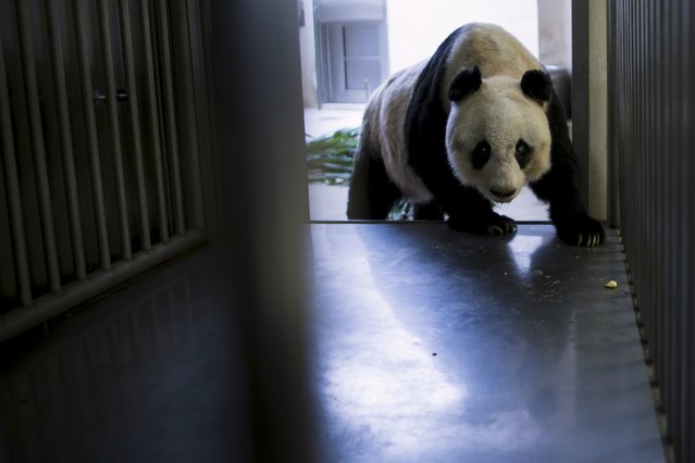 36-year-old giant panda Jia Jia, walks into a cage where health checkups are performed, at the Hong Kong Ocean Park, China July 9, 2015. Jia Jia, the oldest giant panda living in captivity, is set to challenge the world record for the animals' longevity, with her age said to put her on par with a human centenarian. (Photo by Tyrone Siu/Reuters)
