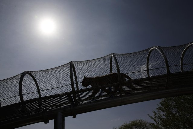 An Amur tiger walks across a passageway after a news conference at the Philadelphia Zoo, Wednesday, May 7, 2014, in Philadelphia. The see-through mesh pathway called Big Cat Crossing is part of a national trend called animal rotation that zoos use to enrich the experience of both creatures and guests. (Photo by Matt Slocum/AP Photo)