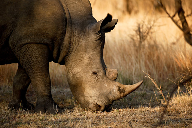 """Precious lives"". White Rhinoceros (Ceratotherium simum). Photo location: Kruger National Park, South Africa. (Photo and caption by Jaime Kruusmaa/National Geographic Photo Contest)"