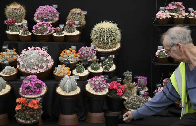 A man arranges a display of cacti during preparations for the RHS Chelsea Flower Show in London, Britain May 21, 2016. (Photo by Neil Hall/Reuters)