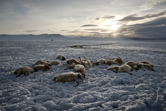 Asia, Mongolia, March 16, 2011. In the Arkhangai province, where Tsamba family is actually living and trying to survive whit their herd. Tsamba family has lost nearly 20 sheep (in the photo) over  two cold winter days. (Photo by Alessandro Grassani)