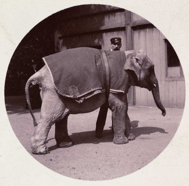 Baby elephant at the zoo, about 1890. (Photo by Collection of National Media Museum/Kodak Museum)