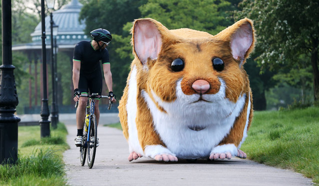 A twelve foot long giant hamster has surprised Londoners along the South Bank, Millennium Bridge and Clapham Common on May 26, 2016. A 4-metre pedal-powered mechanical model hamster, which has been created in the likeness of Jaffa the hamster, who is listed as one of the 10 oddest discoveries made by Kwik Fit technicians in customers' cars. (Photo by Joe Pepler/Rex Features/Shutterstock)