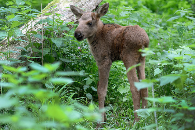 Elk calf Jamie-Lee seen in the elk enclosure of the Wisentgehege Springe zoo in Springe,Germany, 24 May 2016. The baby elk was named after Jamie-Lee Kriewitz who represented Germany in the 2016 EurovisionSong Contest (ESC) and grew up in the region. The female elk calf was born on the day of the ESCfinal. (Photo by Holger Hollemann/DPA via ZUMA Press)