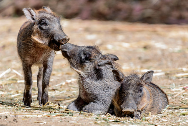 In this June 6, 2016 photo provided by Steven Gotz newly born baby warthogs appear at the Oakland Zoo in Oakland, Calif. Zoo officials say the piglets are beginning to explore their surroundings. (Photo by Steven Gotz Photography via AP Photo)