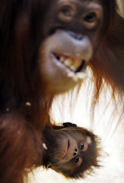 A Sumatran orangutan holds her 5 week-old baby Malou at the Zurich Zoo in Switzerland on May 15, 2012