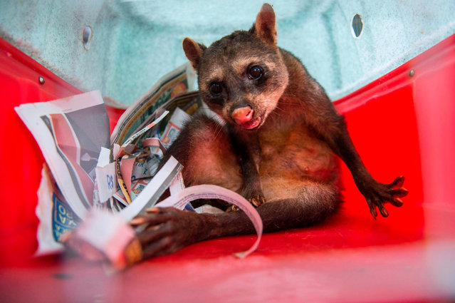 Ariel, an old raccoon, is transported in a cage to the Ibama' s Animal Recovery Center in Seropedica, state of Rio de Janeiro, Brazil on July 18, 2017. Wild animals recovered from illegal trade are treated at the Animal Recovery Center of Ibama (Brazilian Institute of Environment and Renewable Natural Resources) in the city of Seropedica, about 80 km from Rio de Janeiro. Ibama' s proposal is to return them to nature, but many have poor health conditions or are used to human presence, which makes difficult or even impossible to return them to wilderness. (Photo by Mauro Pimentel/AFP Photo)