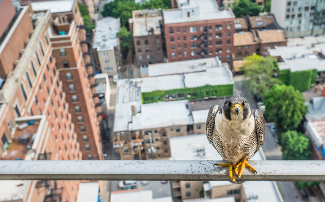 "Luke Massey is awarded the young environmental photographer of the year 2016 for his bold photograph ""Poser"". ""Peregrines were extirpated in Illinois in the 1960s but in the 1980s a reintroduction programme began and now 22 pairs nest in Chicago alone"", he explains. ""One pair have chosen a Chicagoan's condo balcony as their nest site and in 2015 I followed them as they raised four chicks to fledging"". Described by naturalist and broadcaster Chris Packham as an ""exceptional young man"", Luke dedicates his photographic skills to drawing attention to the plight of wildlife under threat. (Photo by Luke Massey/2016 EPOTY)"