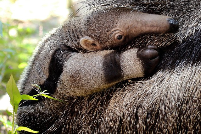 "In this Tuesday, Aug. 5, 2014 photo released by the Roger Williams Park Zoo, a baby giant anteater clings to his mother ""Corndog"" at the zoo in Providence, R.I. The yet-to-be-named baby was born July 25. Anteaters, which can eat up to 35,000 termites and ants per day, are native to Central and South America. Only 5,000 are thought to remain in the wild. (Photo by Brett Cortesi/AP Photo/Roger Williams Park Zoo)"