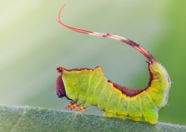 Young Puss Moth Caterpillar. Cerura vinula. Size: 15 mm.