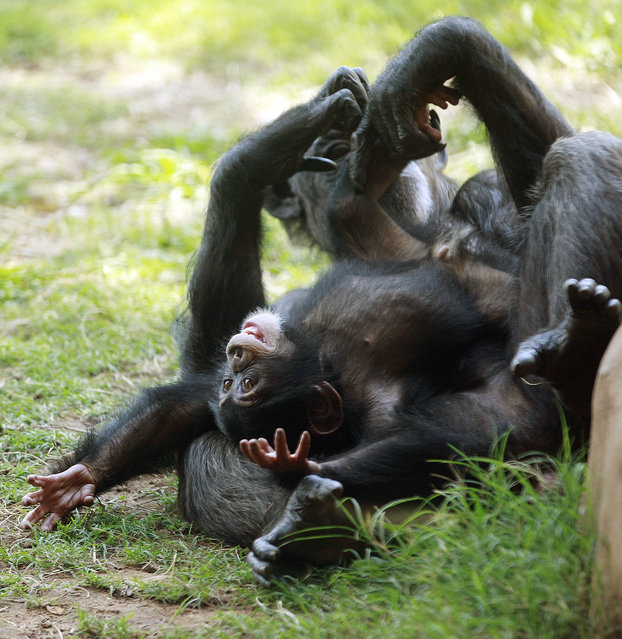 Chimpanzee Ruben plays on his surrogate mother, Kito, at the Oklahoma City Zoo in Oklahoma City, September 17, 2012. Ruben's mother, Rukiya, died just 24 hours after giving birth during a medical procedure. After being hand-raised at Tampa's Lowry Park Zoo, 7-month-old Ruben arrived at the Oklahoma City Zoo on July 30, 2012, and is slowly being introduced to the other members of his chimp family. (Photo by Sue Ogrocki/AP Photo)