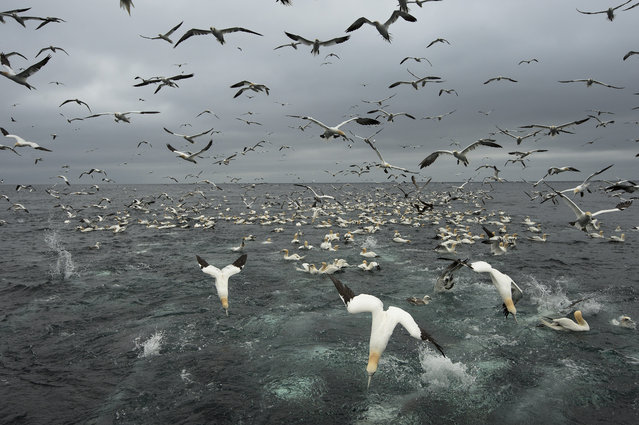 Hundreds of gannets search for fish, 2014, in Shetland, Scotland. (Photo by Richard Shucksmith/Barcroft media)