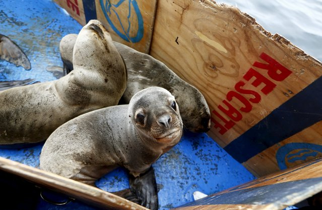 Sea lions wait on the deck of the boat before being released in front of Palomino island, in Callao, Peru September 12, 2015. (Photo by Mariana Bazo/Reuters)