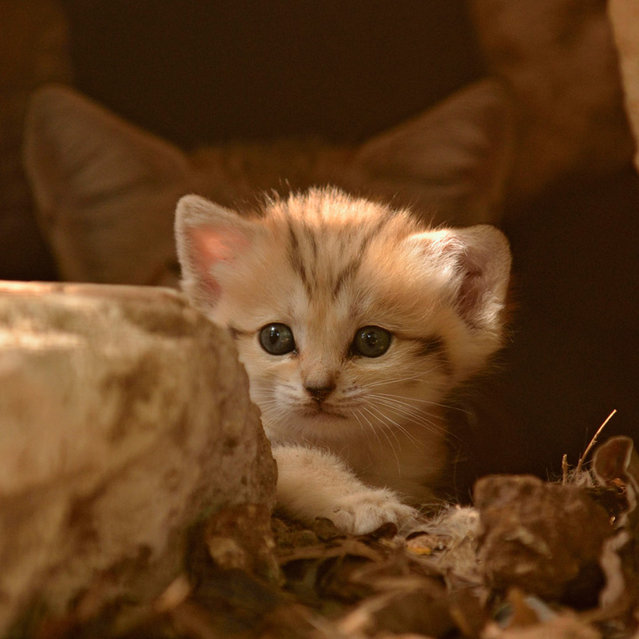 "Rare Sand Kittens in Park ""Safari"""
