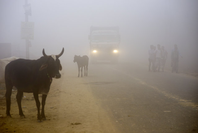 """Cows stand by the side of a road as a truck drives with lights on through smog in Greater Noida, near New Delhi, India, Wednesday, November 8, 2017. A thick gray haze enveloped India's capital on Wednesday as air pollution hit hazardous levels. The Indian Medical Association said New Delhi was in the midst of a """"public health emergency"""" and appealed to the city government to halt sports and other outdoor activities in schools. (Photo by R.S. Iyer/AP Photo)"""