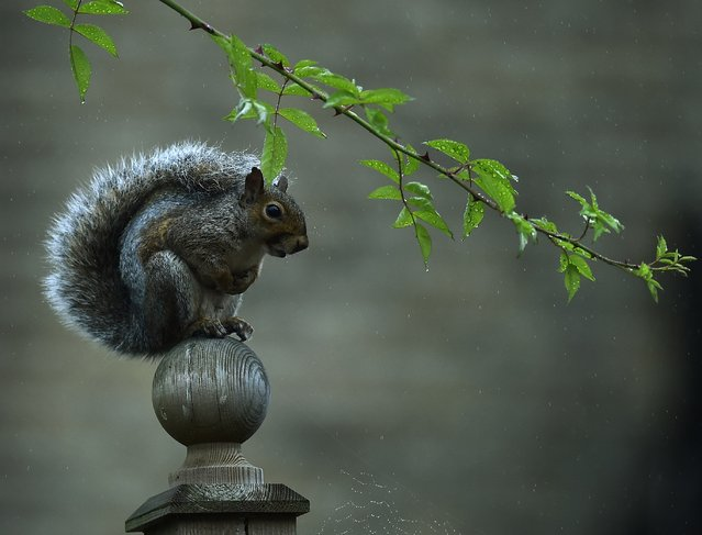 A squirrel uses its tail to shield it from the weather as rain falls in south London October 1, 2014. Official figures showed that last month was the driest September in the UK since records began over one hundred years ago. (Photo by Dylan Martinez/Reuters)