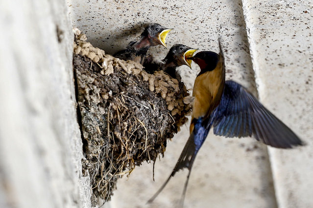 Baby swallow birds open their mouths to be fed by their mother in a nest in Isparta, Turkey on June 18, 2020. (Photo by Mustafa Ciftci/Anadolu Agency via Getty Images)