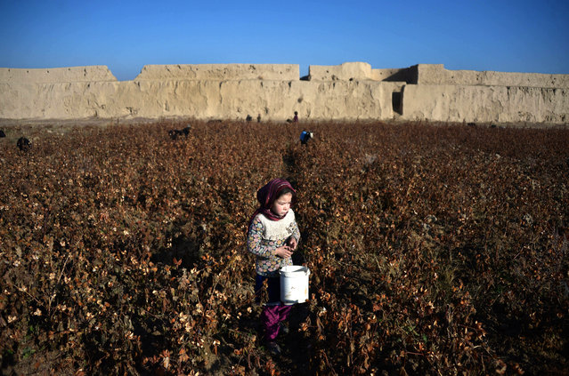Afghan girl labourer Shazia, 8, works in a cotton field in Mazar-i-Sharif on December 1, 2016. (Photo by Farshad Usyan/AFP Photo)