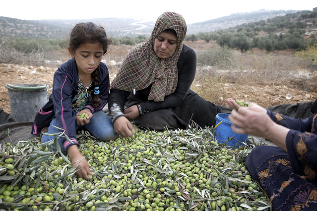 Palestinians harvest olives near the West Bank city of Nablus, October 11, 2014. (Photo by Finbarr O'Reilly/Reuters)