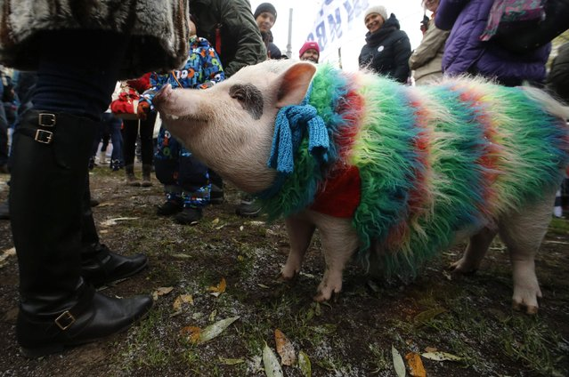 """Animal rights activists take part in an anti-fur march titled """"Animals are not clothes"""", with a pig seen in the foreground, in St. Petersburg, October 19, 2014. Participants gathered to protest against the slaughtering of animals for the production of fur used in winter outfits and in the clothing industry, according to organizers. (Photo by Alexander Demianchuk/Reuters)"""