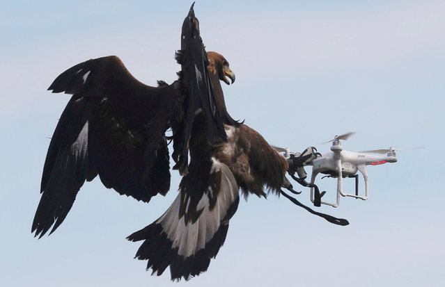A golden eagle grabs a flying drone during a military training exercise at Mont-de-Marsan French Air Force base, Southwestern France, February 10, 2017. (Photo by Regis Duvignau/Reuters)