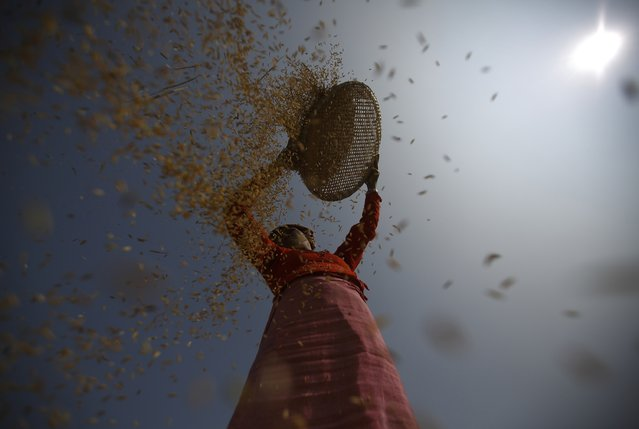 A farmer harvests rice on a field in Lalitpur October 30, 2014. (Photo by Navesh Chitrakar/Reuters)