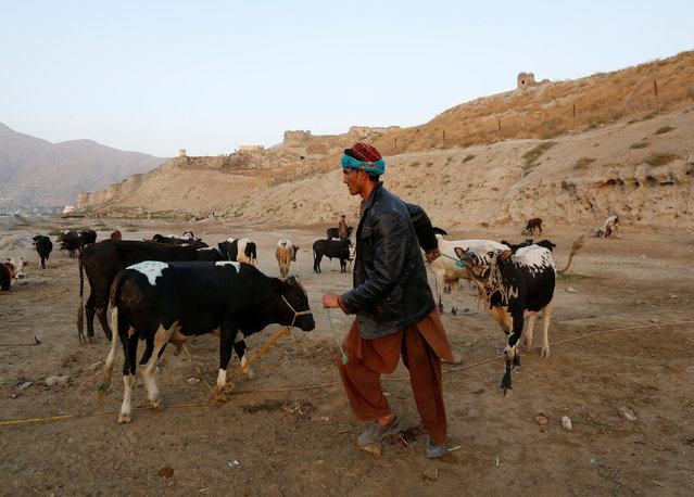 A vendor pulls a rope attached to the necks of cows at a livestock market ahead of the Eid al-Adha, in Kabul, Afghanistan September 11, 2016. (Photo by Mohammad Ismail/Reuters)