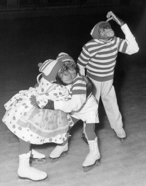Skating chimpanzees (from left) Candy, Enoch and Marquis, frolic on the ice during their first rehearsal for the Christmas ice show at Wembley in London on December 16, 1963. (Photo by AP Photo)