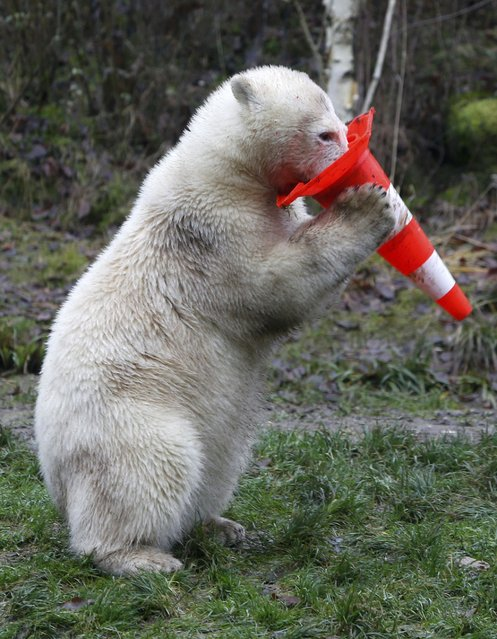 A polar bear plays with a pylon during celebrations marking its first birthday in an enclosure at Tierpark Hellabrunn zoo in Munich December 9, 2014. (Photo by Michaela Rehle/Reuters)
