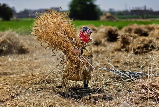 Afarmer carries bundles of wheat during a harvest at a farm in Cairo, Egypt, on May 13, 2013. The country's wheat crop is expected to be close to 10 million tons this season. (Photo by Hassan Ammar/Associated Press)