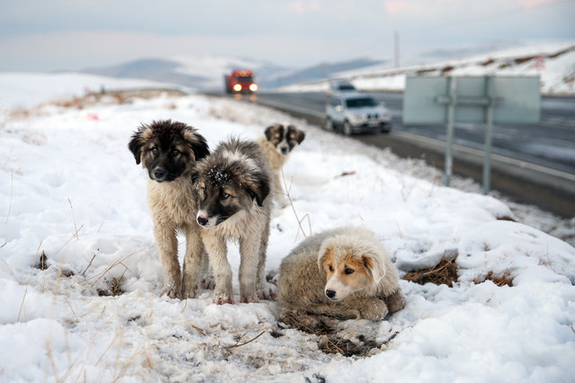 Four puppies are seen in snow as they being rescued from freezing by municipal workers at Kurubas Pass at an altitude of 2 thousand 225 meters, in Van province of Turkey on December 11, 2020. Van Metropolitan Municipality Health Affairs Department Animal Care and Rehabilitation Center Stray Animals Collection Team, pick up the puppies from and take them to the center. (Photo by Ozkan Bilgin/Anadolu Agency via Getty Images)