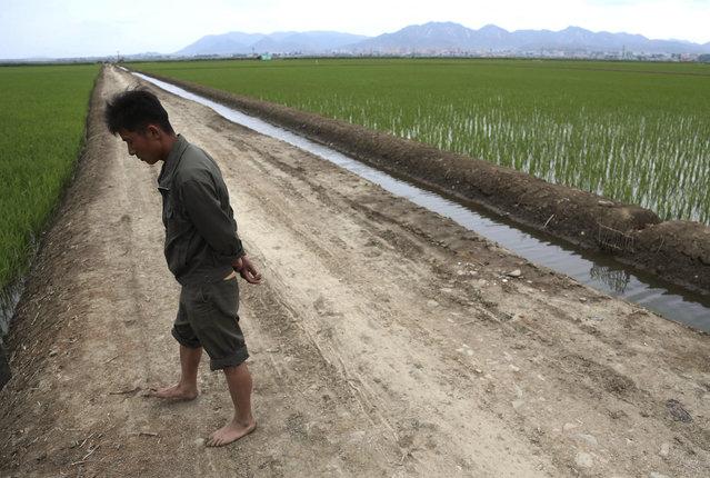A worker walks along a rice field in Sariwon, North Korea, Wednesday, June 13, 2018. (Photo by Dita Alangkara/AP Photo)