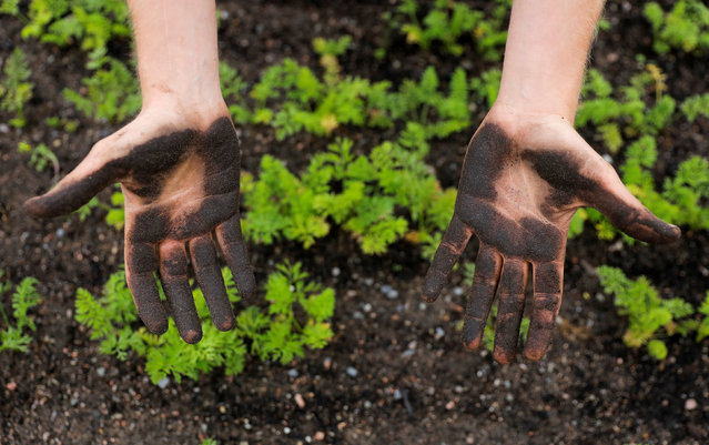 William Bailey shows his hands after seeding at Kajodlingen farm in Gothenburg, Sweden, September 28, 2016. (Photo by Maxim Shemetov/Reuters)