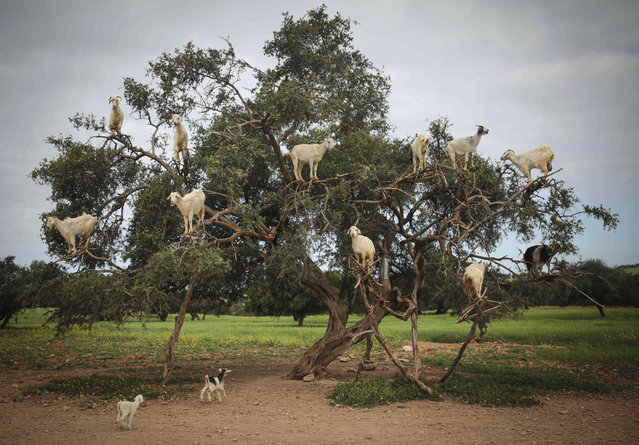 Tree-climbing goats feed on an Argania Spinosa, known as an Argan tree, in Essaouira, southwestern Morocco, Wednesday, April 4, 2018. By eating the fruit and spitting out the seeds, the goats help in the process of manufacturing Argan oil. (Photo by Mosa'ab Elshamy/AP Photo)