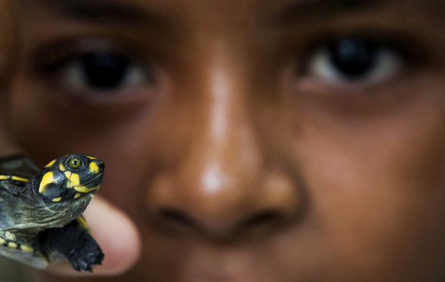 A boy holds up a quelonio turtle hatchling before it is released, by members of the Pe-de-Pincha project, into a lake of the Momari community in the Amazon municipality Careiro, February 4, 2015. (Photo by Bruno Kelly/Reuters)