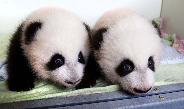 "Mei Huan and Mei Lun, the first pair of twin Giant Panda cubs to be born in the United States and survive, are pictured at Zoo Atlanta, on Oktober 23, 2013. The cubs have been given names that come from a Chinese idiom meaning ""something indescribably beautiful and magnificent"", zoo officials said. The names were announced when the male cubs reached 100 days old, in keeping with ancient Chinese tradition. (Photo by Adam K. Thompson/Zoo Atlanta)"