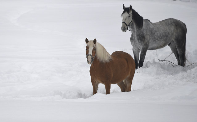 Horses stand in the snow  in Garmisch-Partenkirchen, southern Germany, Monday. January 7,  2019, after large parts of southern Germany and Austria were hit by heavy snowfall. (Photo by Angelika Warmuth/dpa via AP Photo)