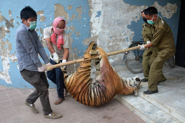 Indian forest official carry the body of a female tiger into a building to undergo a post-mortem examination at the Nagaland Forest office in Dimapur in the north-eastern state of Nagaland on March 1, 2016. A tigress was killed by villagers at Medzhiphema village on the outskirts of Dimapur on February 29, after allegedly attacking a villager and raiding livestock, before being handed over to forestry officials for examination. (Photo by Caisii Mao/AFP Photo)