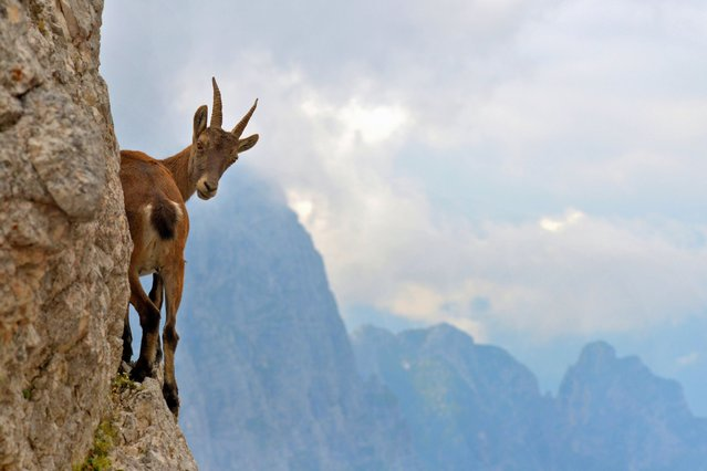 Young female Ibex on the fork of Disteis (2,200 m), near the top of the Jof di Montasio (Friuli, Italy). (Photo by Stefano Zocca)
