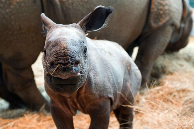 Photo shows Salyane, a baby female Indian rhinoceros born on November 7, 2013, standing next to her mother at the Zooparc of Beauval in Saint-Aignan, central France, on November 20, 2013. (Photo by Guillaume Souvant/AFP Photo)