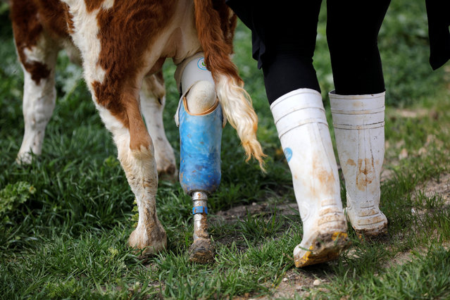 "A volunteer walks with Nir, a cow with prosthetic leg at ""Freedom Farm"" which serves as a refuge for mostly disabled animals in Moshav Olesh, Israel on March 7, 2019. (Photo by Nir Elias/Reuters)"
