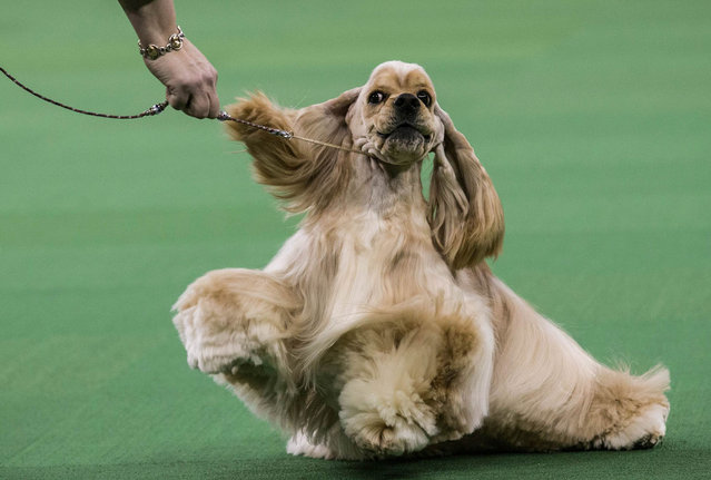 An Ascotb Cocker Spaniel competes in the Westminster Dog Show on February 11, 2014 in New York City. The annual dog show has been showcasing the best dogs from around world for the last two days in New York. (Photo by Andrew Burton/Getty Images)