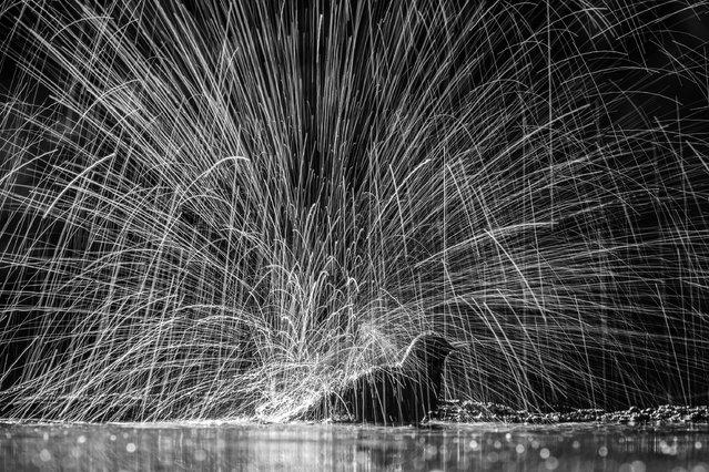 "Action, joint winner: Siegmar Bergfeld, ""Bathing blackbird"" (Hungarian nature reserve). (Photo by Dr Siegmar Bergfeld/2019 GDT Nature Photographer of the Year)"