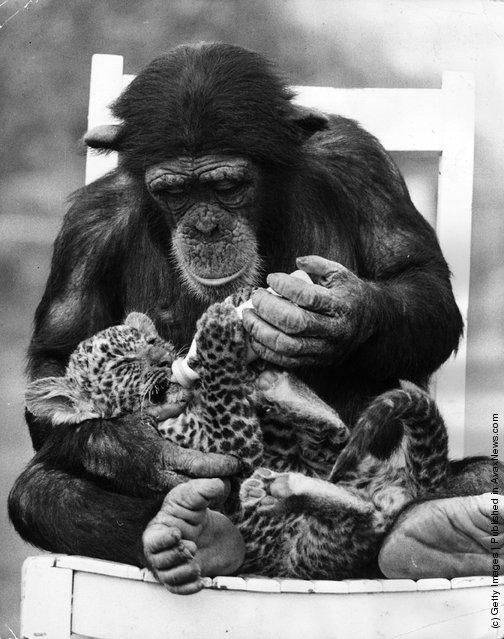 1971: A chimpanzee feeding a leopard cub at Southam Park Zoo, Warwickshire