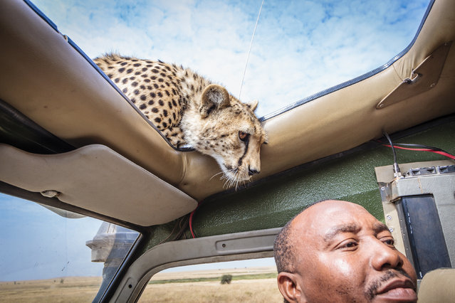 The cheetah sniffs the head of the safari guide. (Photo by Bobby-Jo Clow/Caters News)